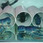 Syarat Hidup Lobster Air Tawar